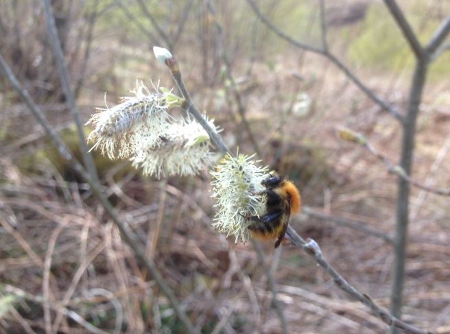 Pussy willow bee